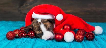 Portrait de chiot basenji en bonnet de Noel avec ornements rouges photo