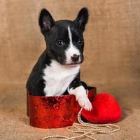 Portrait de chiot basenji assis dans une boîte rouge avec oreiller coeur rouge photo