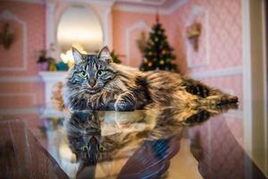 Portrait de chat norvégien sur table en verre avec arbre de Noël en arrière-plan photo