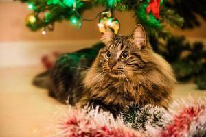 Portrait de chat norvégien à côté de l'arbre de Noël photo
