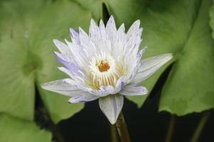fleur de lotus délicate