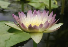 fleur de lotus violet et jaune
