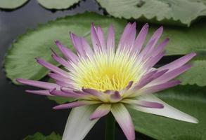 lotus violet et jaune