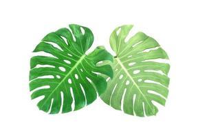 deux feuilles de monstera photo