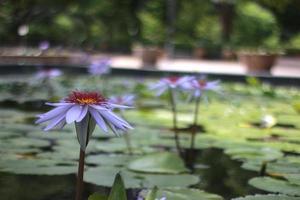 fleurs de lotus violettes