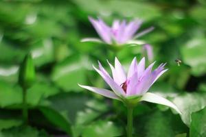 fleurs de nénuphar violet
