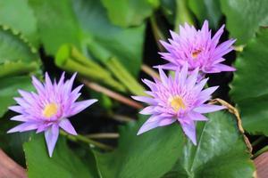 trois nénuphars violets