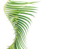 feuille de palmier courbée sur blanc photo