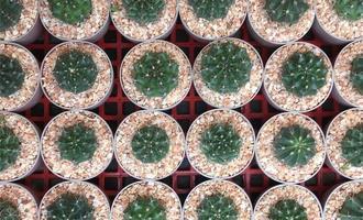 vue de dessus de cactus en pot photo