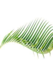 feuille de palmier courbe isolée photo