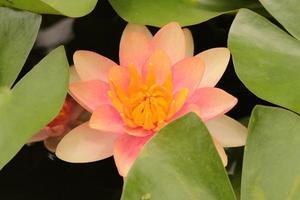 Nénuphar rose et jaune dans l'étang