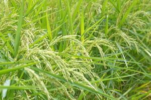 grains de riz dans la rizière