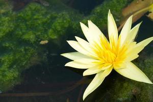 fleur de lotus jaune