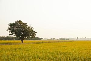 arbre sur la rizière photo