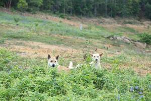 chiens dans un pré photo