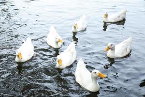 canards dans l'eau photo
