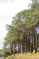 pins poussant dans le parc photo