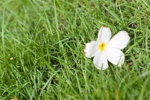 fleur blanche sur l'herbe photo