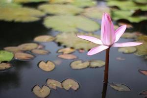 nénuphar rose dans l'eau