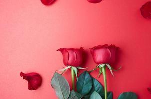 roses sur rouge photo