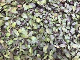 feuilles violettes et vertes d'un buisson photo
