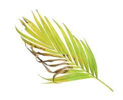 feuillage tropical avec des taches brunes