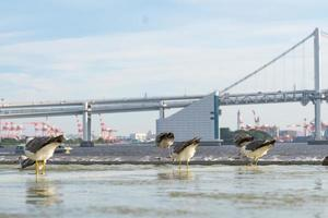 oiseaux au bord de leau à tokyo photo