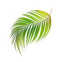 feuille de noix de coco isolée