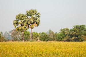 palmiers dans la rizière photo