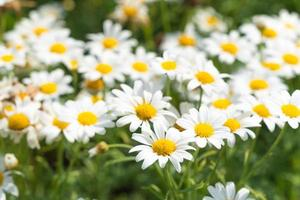 fleurs de marguerite blanche photo