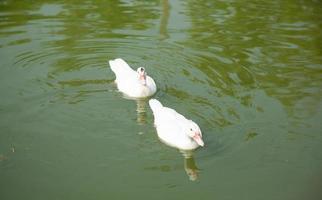 canards sur l & # 39; étang photo