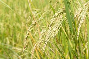 riz sur le terrain