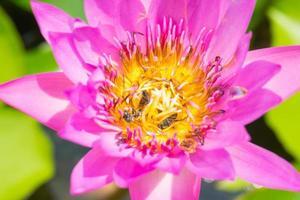 abeilles sur une fleur de lotus photo