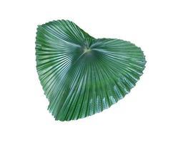 grande feuille de palmier vert photo