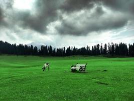 vache dans les prairies de doodhpathri kashmir