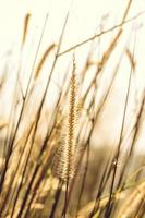 herbes à l'heure d'or