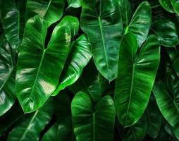 feuilles d'éléphant luxuriantes