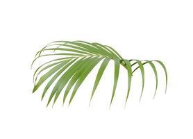 Vue latérale d'une feuille de palmier sur blanc