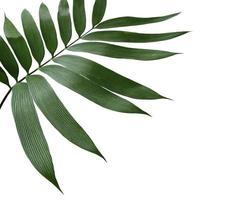 feuille tropicale vert foncé sur blanc photo