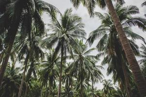 Jardins de cocotiers en Thaïlande