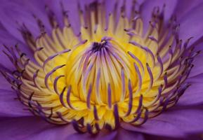 Détail de fleur de lotus violet et jaune