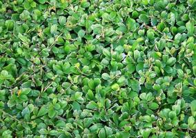 mur de feuilles vertes photo