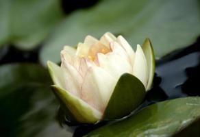 délicate fleur de lotus blanc