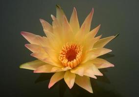 fleur de lotus jaune dans l'eau