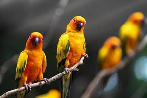 perroquets conure soleil le soir photo