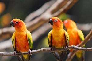 Perroquets conure soleil brillant sur une branche photo