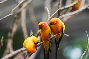 Trois perroquets conure soleil sur une branche photo