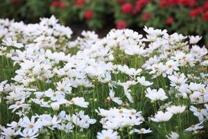 fleurs blanches sur une ferme de fleurs photo