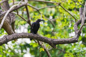 corbeau noir sur un arbre photo