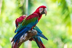 groupe d'aras colorés